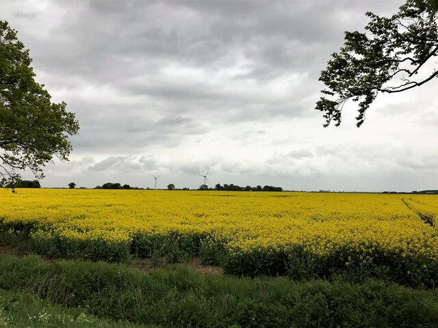 Field of rapeseed viewed from Bell Drove north of Thorney