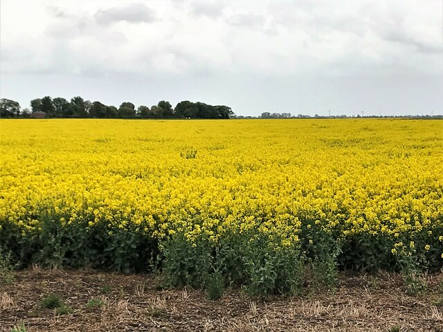 Rapeseed in flower off Bell Drove, Thorney
