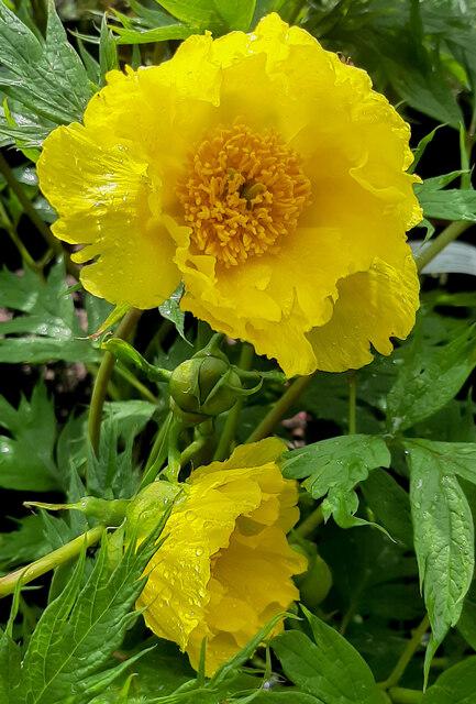 Paeonia suffruticosa 'High Noon'
