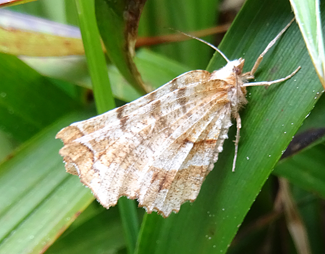 Early Thorn Moth (Selenia dentaria)