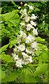 NJ3558 : Horse Chestnut (Aesculus hippocastanum) by Anne Burgess