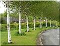 NS5574 : Birch trees, Dougalston Avenue by Richard Sutcliffe