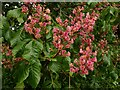 SK6144 : Flowers of Aesculus × carnea by Alan Murray-Rust