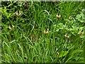 TF0820 : Plantago lanceolata by Bob Harvey