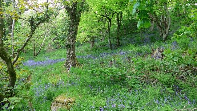 Bluebells in Physgill Glen
