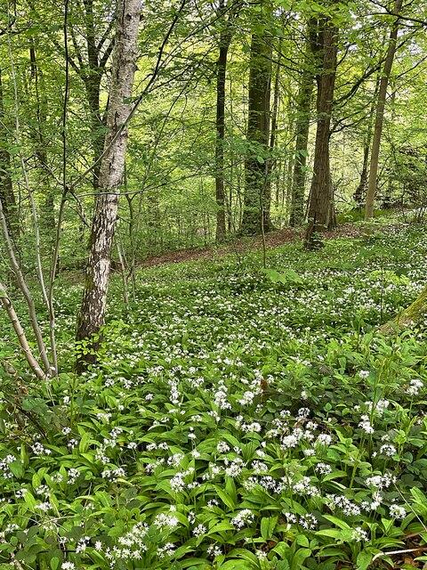 Wild garlic in Whiteley Woods