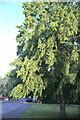 TF0820 : Lime tree by Bob Harvey