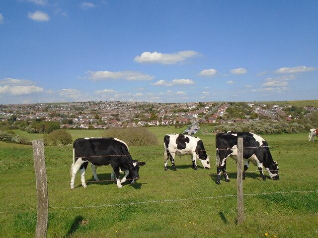 Cows above Happy Valley