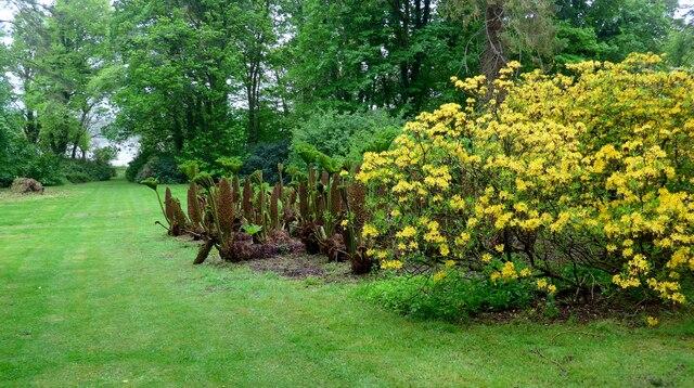 Gunnera and azalea (Azalea luteum) in the grounds of Galloway House