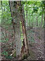 TF0821 : A dying oak by Bob Harvey