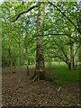 TF0821 : A firmly rooted tree by Bob Harvey