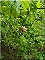 TF0820 : Gall on oak tree by Bob Harvey
