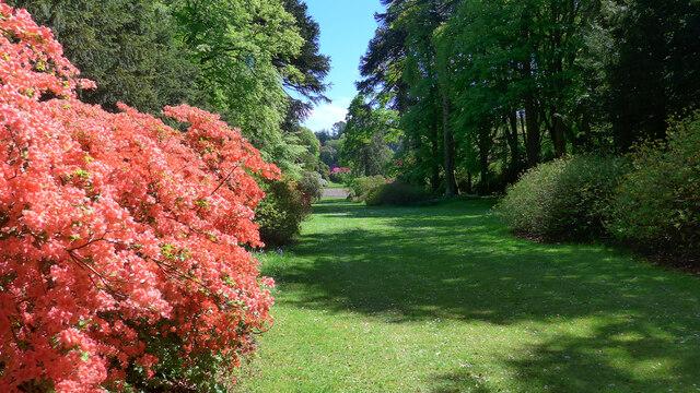 Azalea blossom at Castle Kennedy