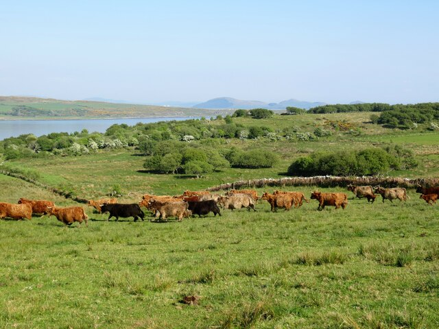 Highland cattle on Inchmarnock
