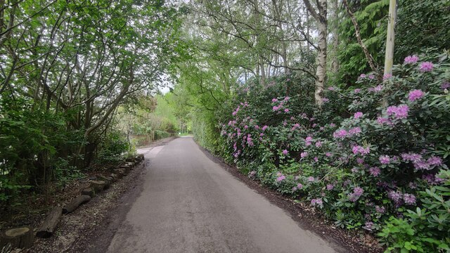 Ambarrow Lane - Rhododendrons