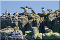 NU2337 : Puffins by Ian Capper