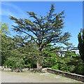 NS9264 : Cedar of Lebanon at Polkemmet by M J Richardson