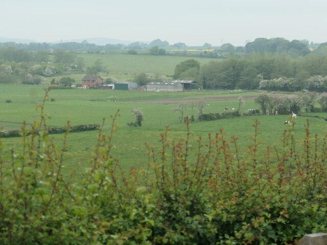Cattle grazing near Meadow View