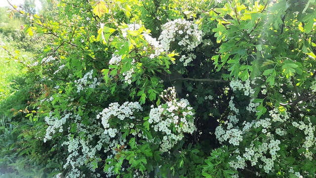 May blossom, Cretaegus sp