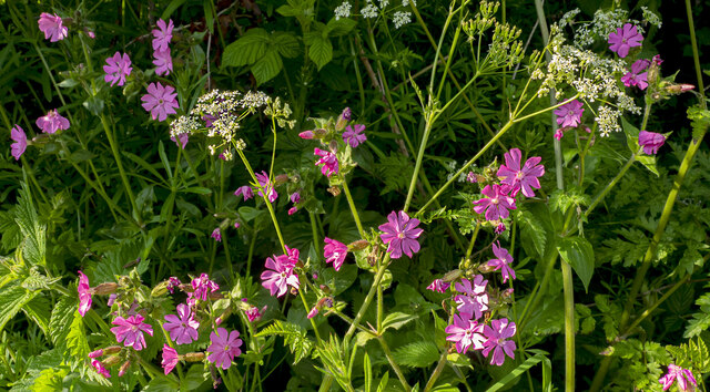 Campion and Cow Parsley