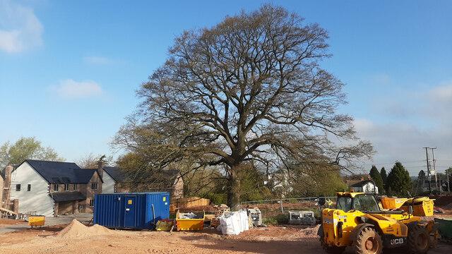 Oak tree at The Oaks