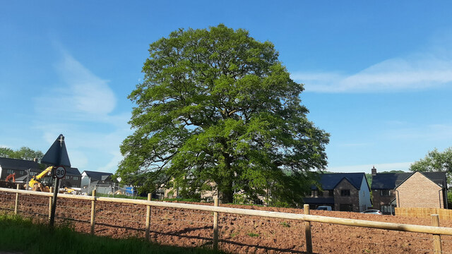 Oak tree at The Oaks, 2