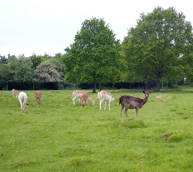Charlecote Estate - Dear in the park