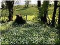 H1858 : Wild garlic, Drumaran by Kenneth  Allen