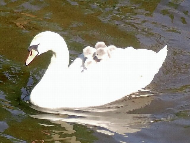 Cygnets going for a ride