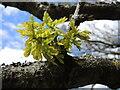 ST5160 : Oak leaves breaking out by Neil Owen