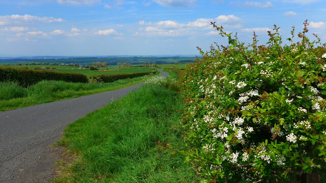 May (hawthorn) in blossom by the road over Guiltree Hill