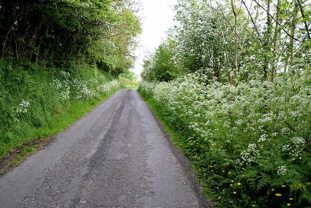 Hemlock along Drumragh Road