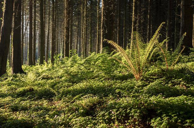 Ferns, Cairn Wood