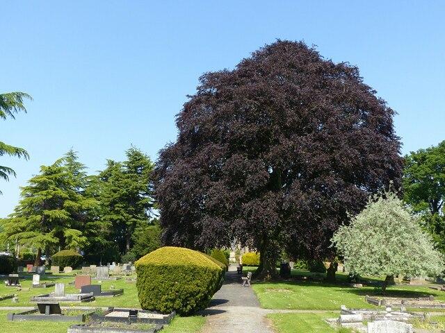 Copper beech trees, Burton Joyce cemetery