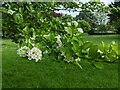 TF0820 : A Hawthorn cultivar by Bob Harvey