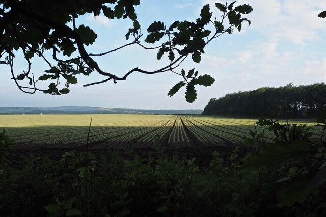 Crop field and oak leaves