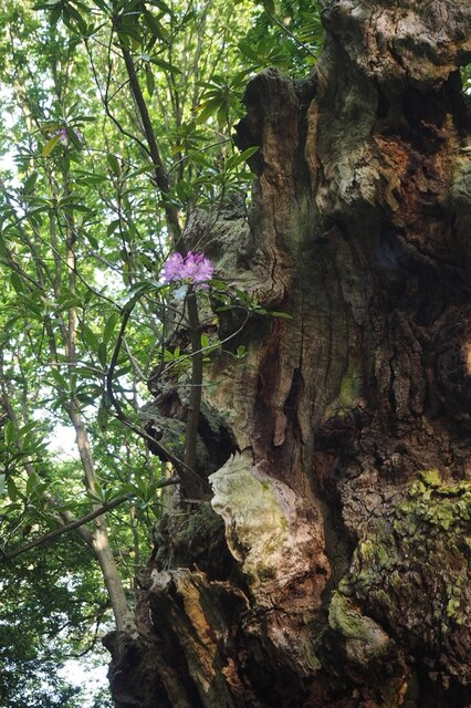 Dead oak with rhododendron
