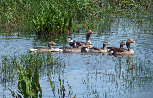 A Greylag family at Leighton Moss
