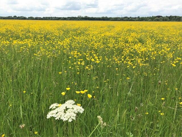 A mass of buttercups on Port Holme flood meadow near Godmanchester