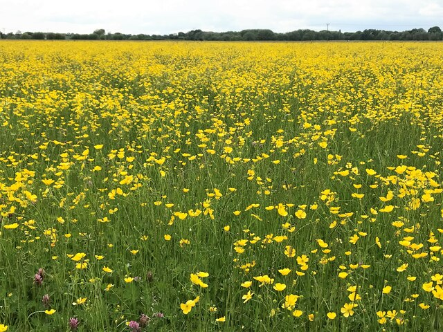 Port Holme flood meadow near Godmanchester covered in buttercups