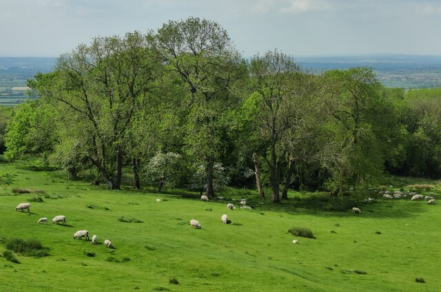 Sheep at Dover's Hill