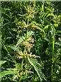 TF0820 : Nettle flowers by Bob Harvey