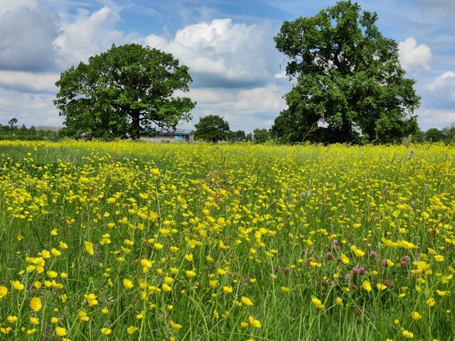 Buttercups on the Everards Meadows