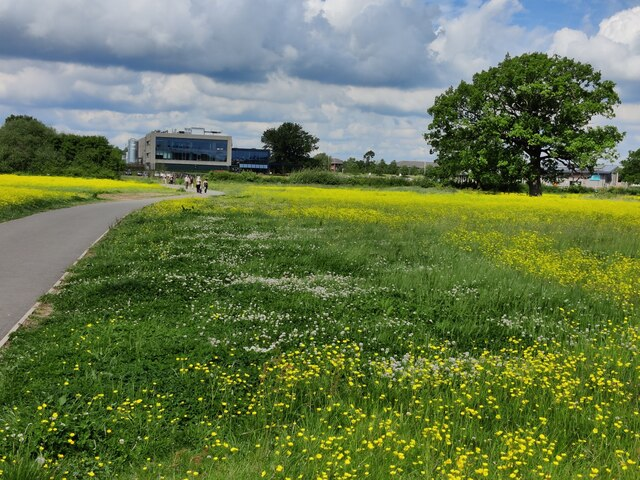 Path through the buttercups on the Everards Meadows