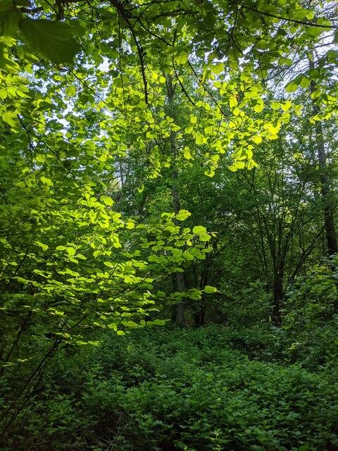 Bacaklit leaves