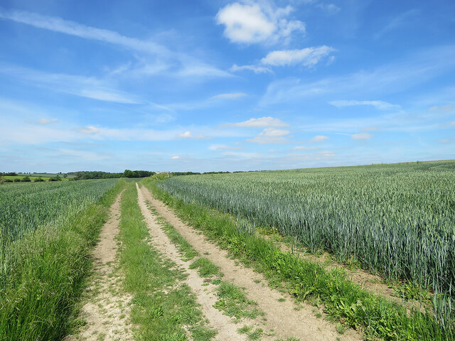 Wheatfields by Whitwell Way in early summer