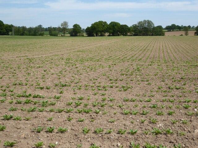 A root crop