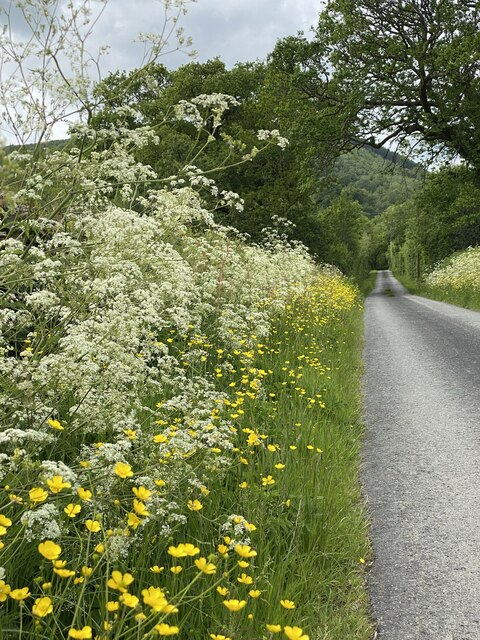 Buttercups and wild parsley