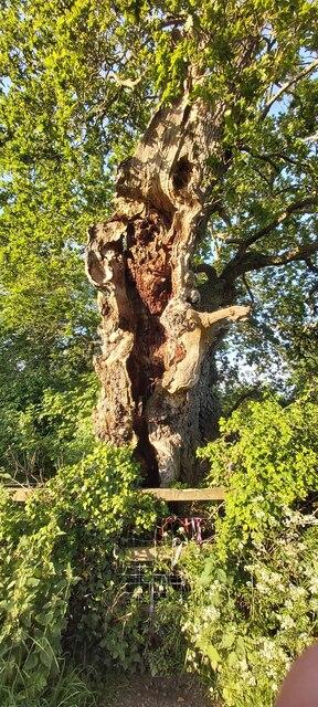 Magog - Ancient Oak Tree