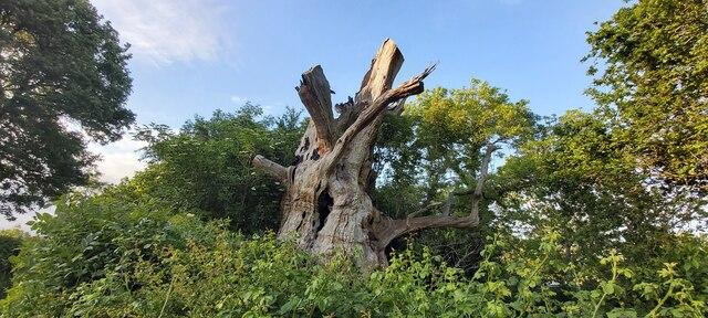 Gog - Ancient Oak Tree
